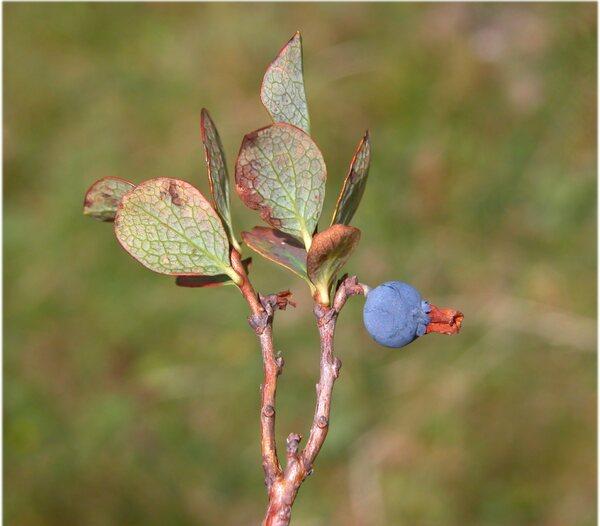 Vaccinium uliginosum L. subsp. microphyllum (Lange) Tolm.