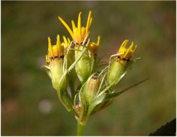 Senecio nemorensis L. subsp. glabratus (Herborg) Oberpr.