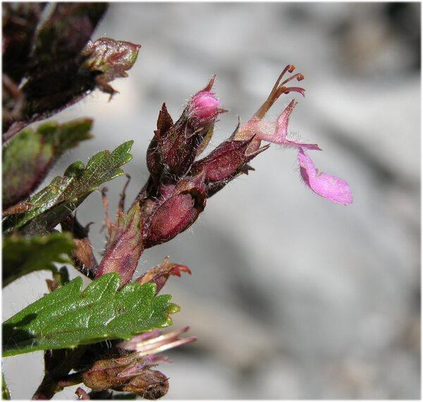Teucrium chamaedrys L. subsp. chamaedrys