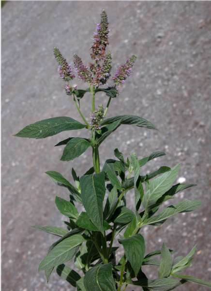 Mentha longifolia (L.) Huds. subsp. grisella (Briq.) Briq.