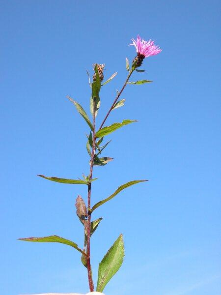 Centaurea nigrescens Willd. subsp. nigrescens