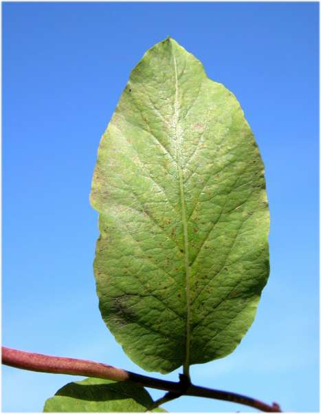 Lonicera nigra L.
