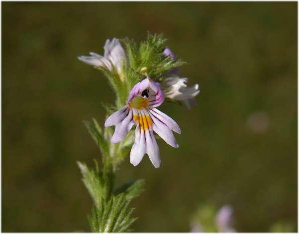 Euphrasia officinalis L. subsp. kerneri (Wettst.) Eb.Fisch.