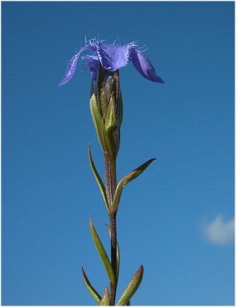 Gentianopsis ciliata (L.) Ma subsp. ciliata