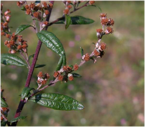 Artemisia verlotiorum Lamotte