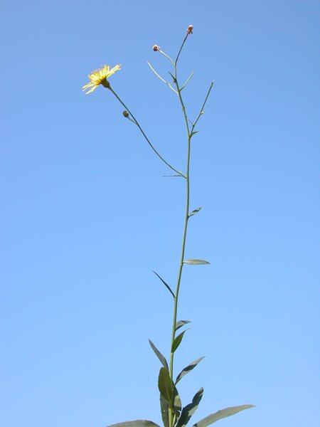 Hieracium pospichalii Zahn subsp. pospichalii