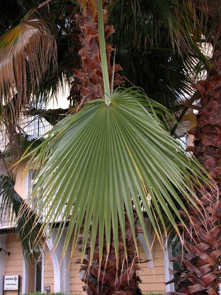 Washingtonia filifera (Linden ex André) H.Wendl. ex de Bary