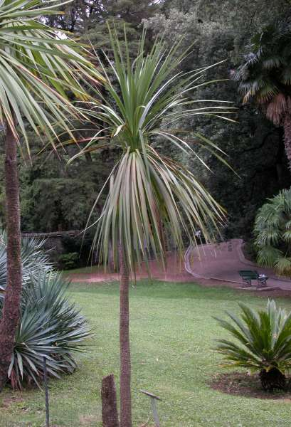 Cordyline indivisa (Forst. f.) Steud.