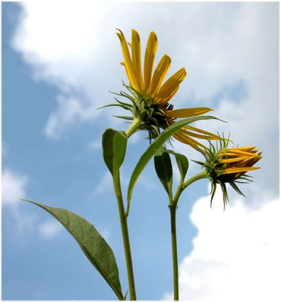 Helianthus ×multiflorus L. nothosubsp. multiflorus