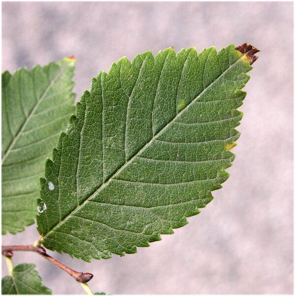 Ulmus minor Mill. subsp. minor