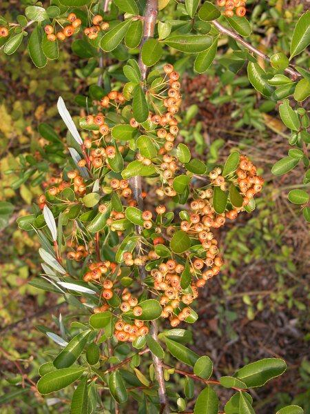 Pyracantha crenatoserrata (Hance) Rehder