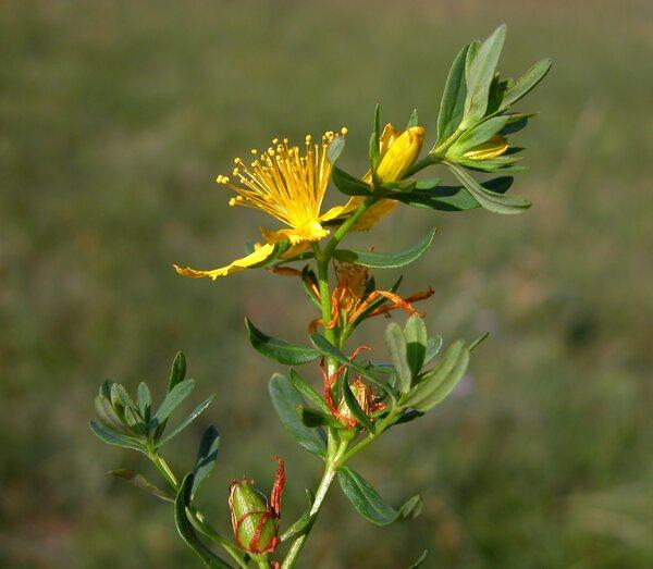 Hypericum perforatum L. subsp. perforatum