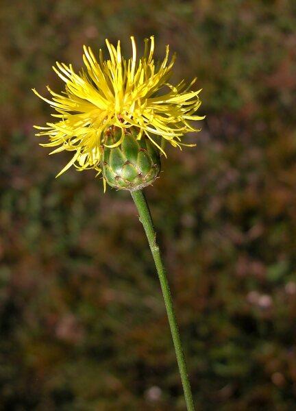 Centaurea arachnoidea Viv. subsp. adonidifolia (Rchb.) F.Conti, Moraldo & Ricceri