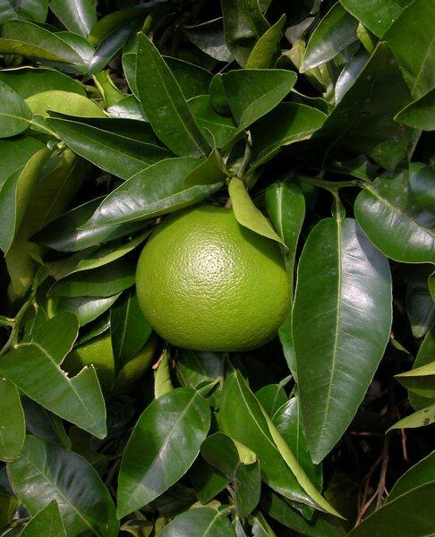Citrus x paradisi MacFayden