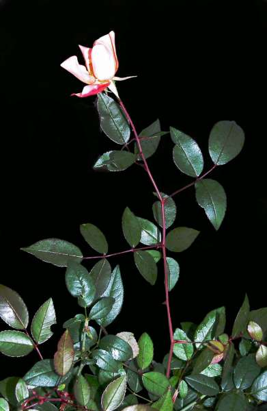 Rosa chinensis Jacq. 'Mutabilis'