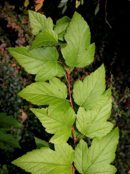 Viburnum acerifolium L.