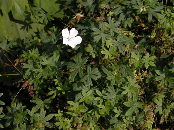 Geranium sanguineum L. 'Album'