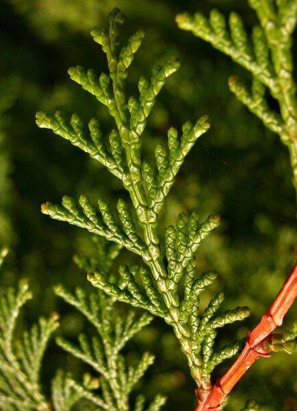 Chamaecyparis obtusa (Siebold & Zucc.) Endl.