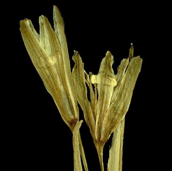 Gagea pusilla (F.W.Schmidt) Sweet