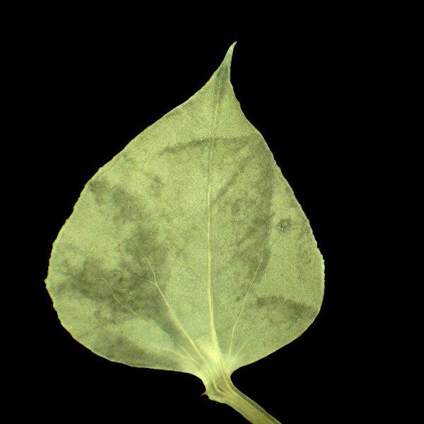 Euphorbia falcata L. subsp. falcata
