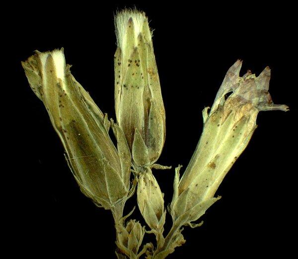 Lactuca quercina L. subsp. quercina