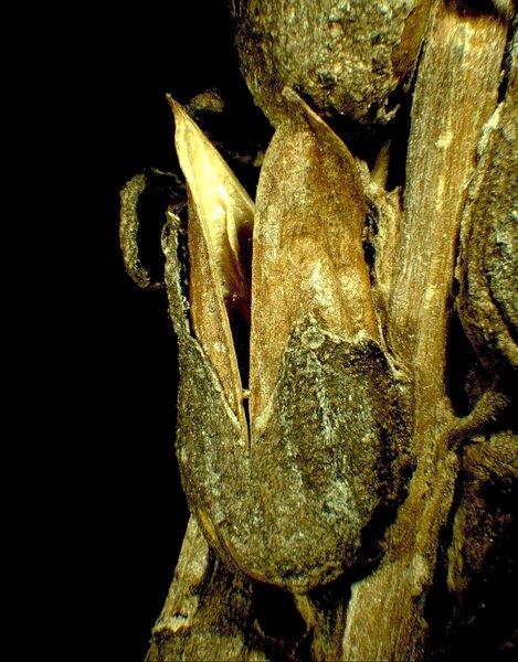 Pedicularis friderici-augusti Tomm.