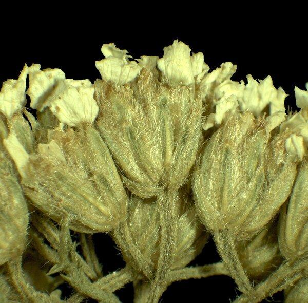 Achillea virescens (Fenzl) Heimerl
