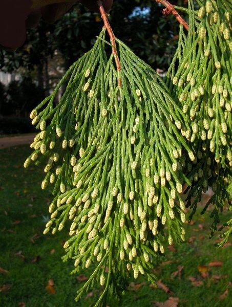Calocedrus decurrens (Torr.) Florin