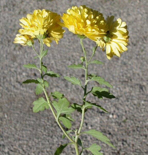 Dendranthema spp.
