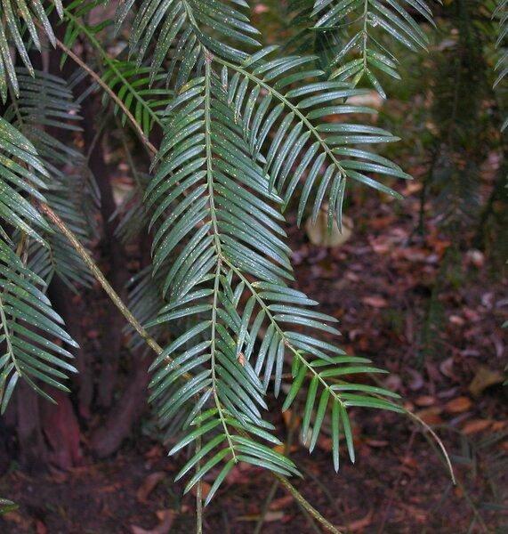 Cephalotaxus harringtonii (Knight ex J.Forbes) K.Koch 'Drupacea'