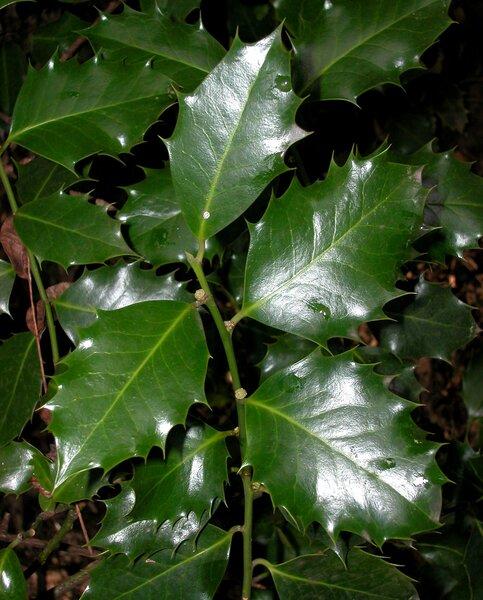 Ilex latifolia Thunb.