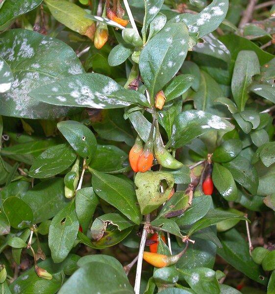 Lycium carolinianum Walt.