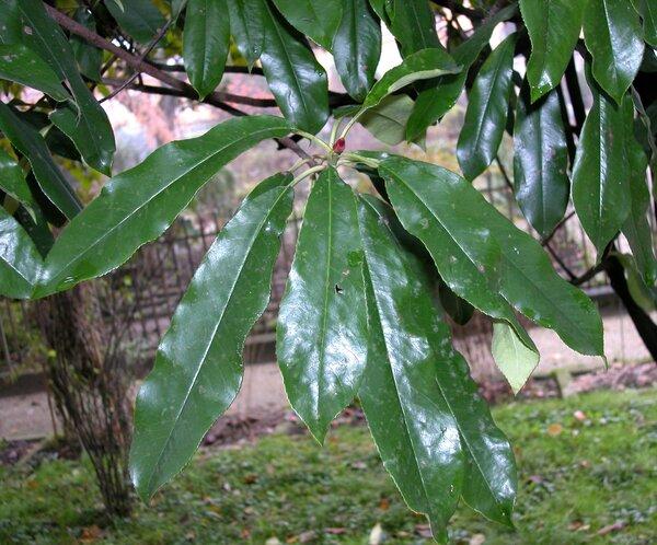 Photinia serratifolia (Desf.) Kalkman