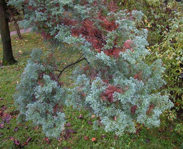 Chamaecyparis pisifera (Siebold & Zucc.) Endl. 'Plumosa'