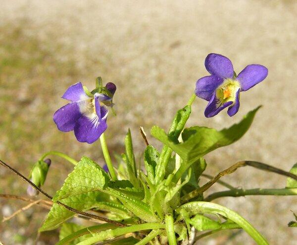 Viola suavis M.Bieb. subsp. adriatica (Freyn) Hasler