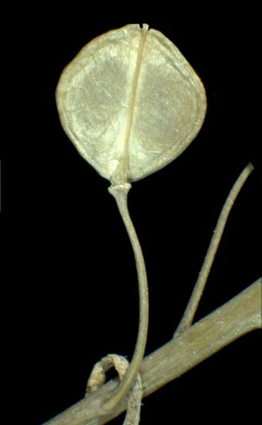 Lepidium perfoliatum L.