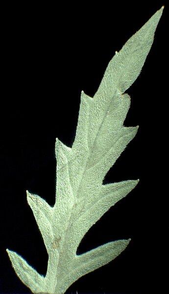 Lycopus exaltatus L.f.