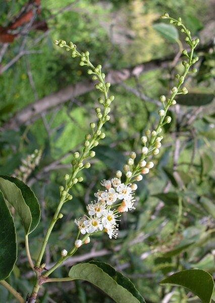 Prunus lusitanica L. subsp. hixa (Willd.) Franco
