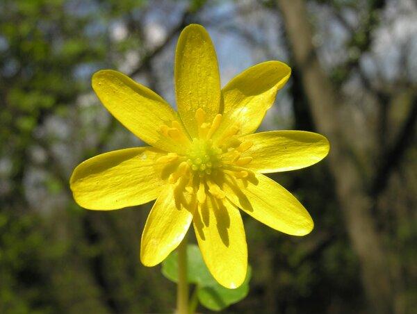 Ficaria verna Huds. subsp. ficariiformis (F.W.Schultz) B.Walln.