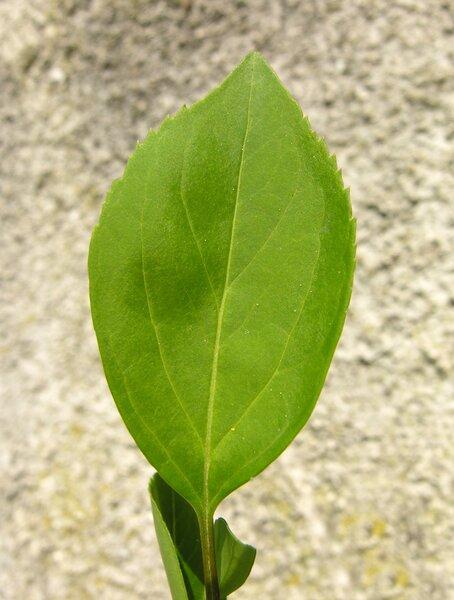 Forsythia intermedia Zabel