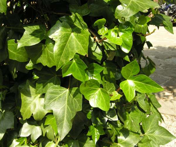 Hedera canariensis Willd.