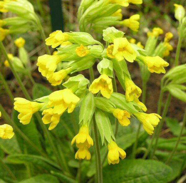 Primula veris L. subsp. columnae (Ten.) Maire & Petitm.
