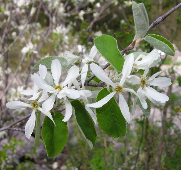 Amelanchier ovalis Medik. subsp. ovalis