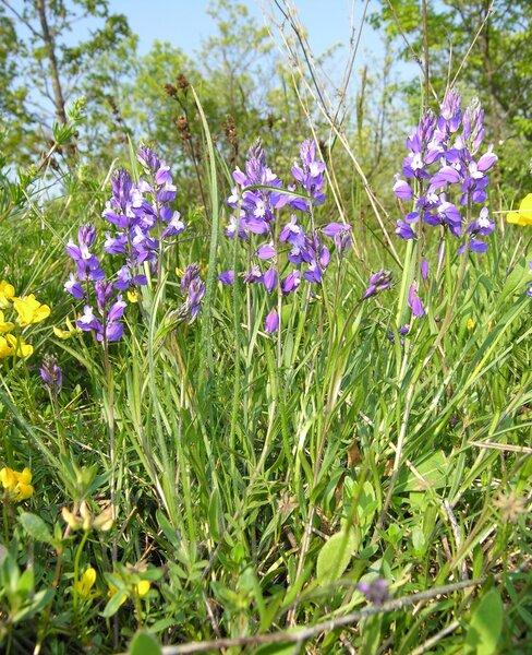 Polygala forojulensis A.Kern. subsp. adriatica (Chodat) Arrigoni