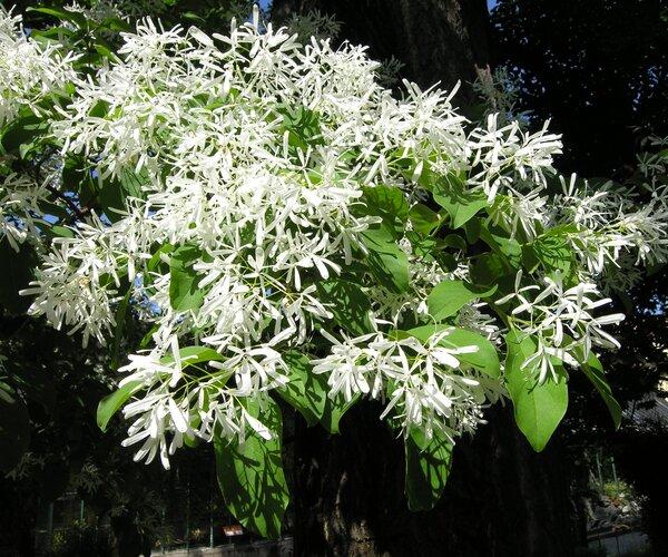 Chionanthus retusus Lindl.-Poxt.