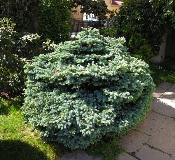 Picea pungens Engelm. 'Glauca Globosa'