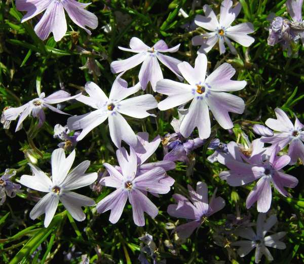 Phlox subulata L.
