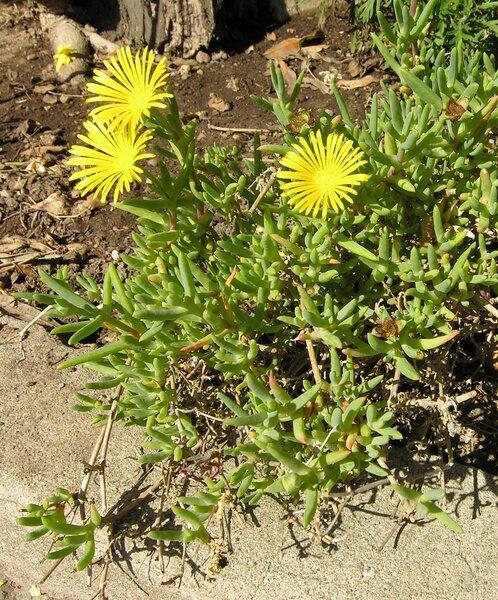 Lampranthus explanatus N.E.Br.