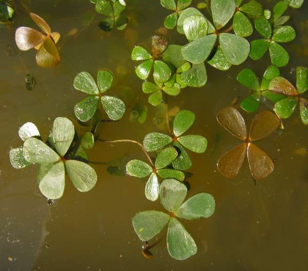 Marsilea strigosa Willd.