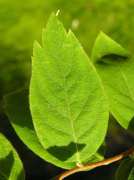 Spiraea ussuriensis Pojark.
